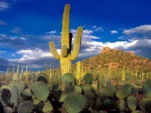 saguaro-300x225