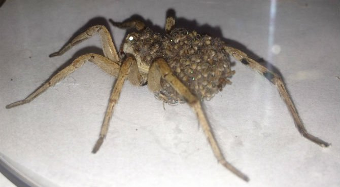 wolf-spider-with-babies