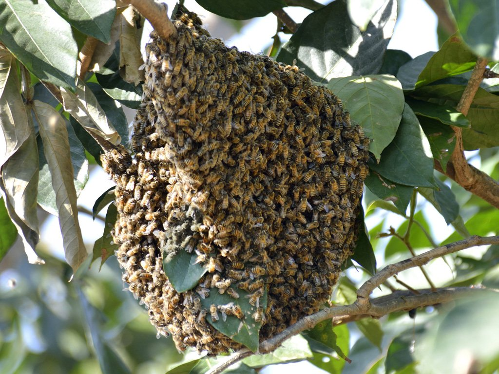 how to get rid of a swarm of honey bees