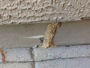 termite found on home foundation in Phoenix Arizona
