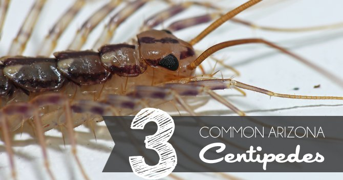 The Most Common Centipedes In Arizona Blog