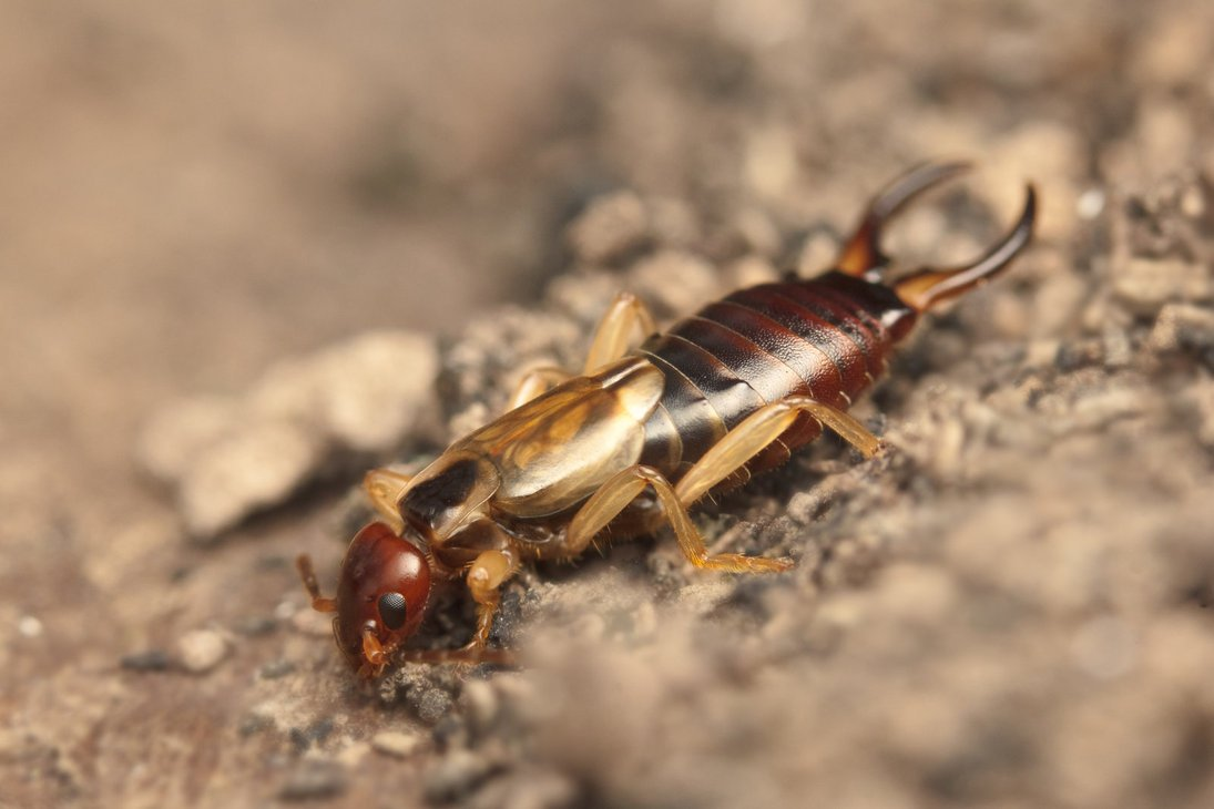 Earwigs Pest Control Phoenix Az