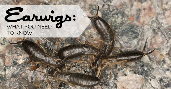 Superb Earwigs What You Need To Know Download Free Architecture Designs Rallybritishbridgeorg