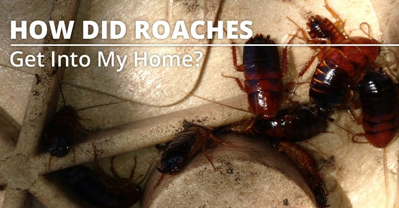 How did cockroaches get into my home?