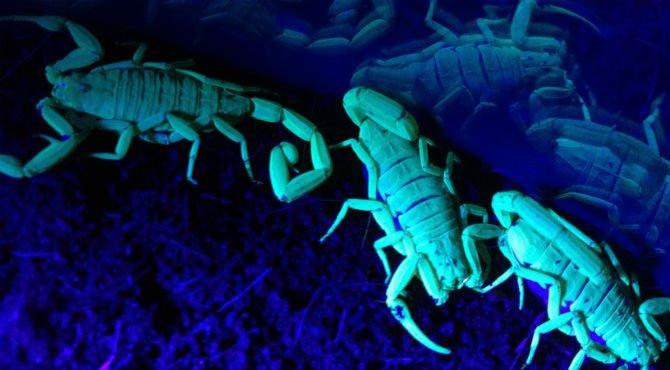 bark-scorpions-black-light