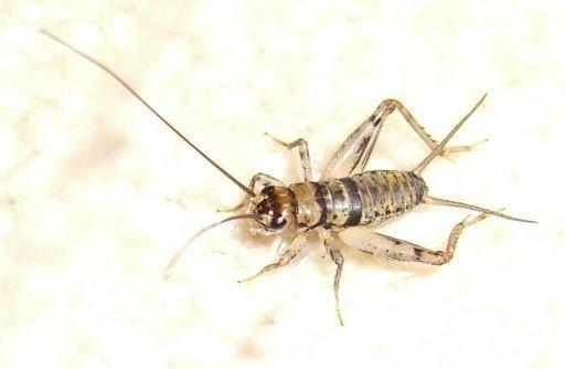 Cricket Pest Control Phoenix Az