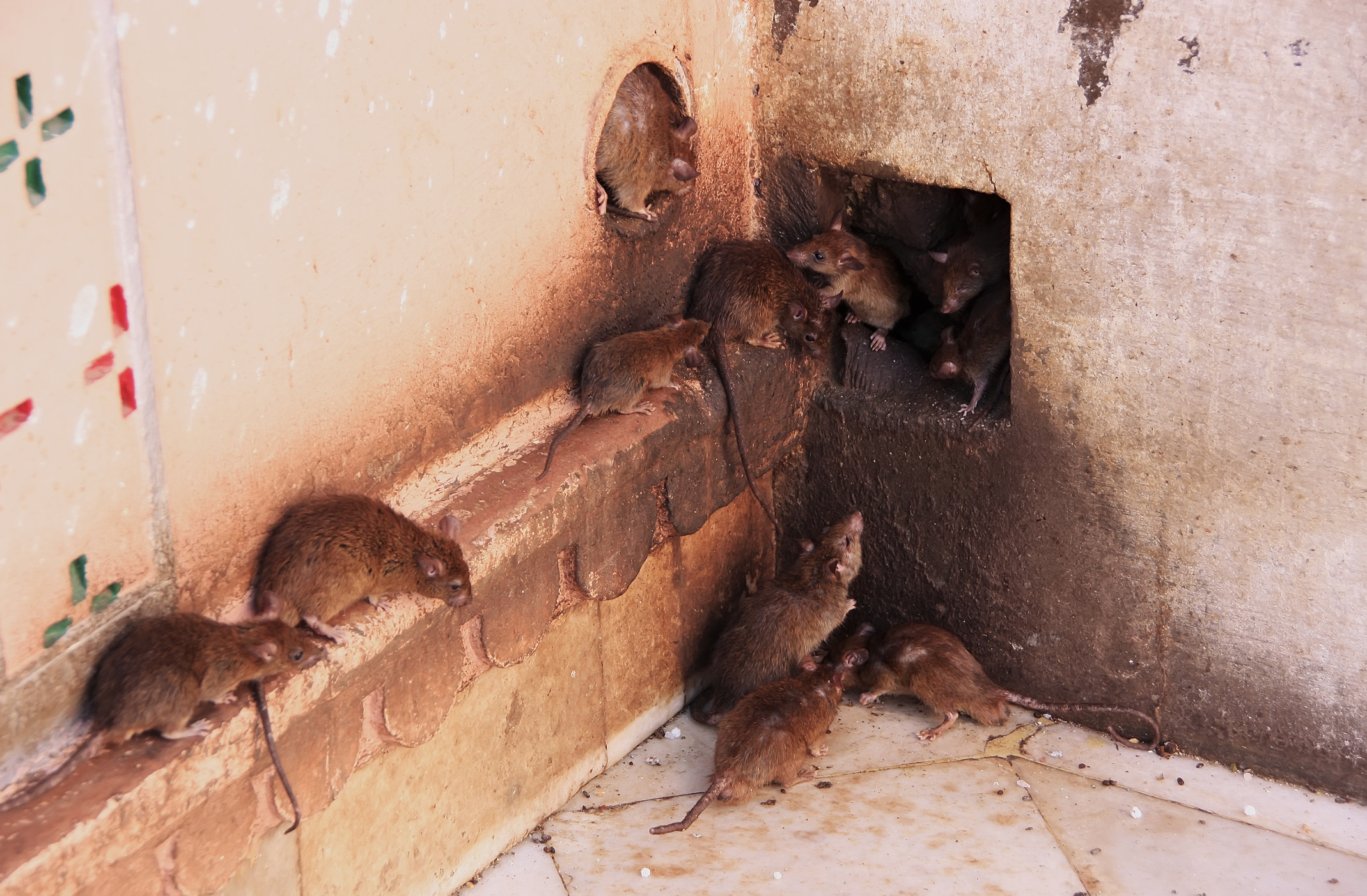 Rodents Pest Control Phoenix Metro Area Blue Sky Pest