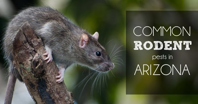 Common Rodent Pests In Arizona