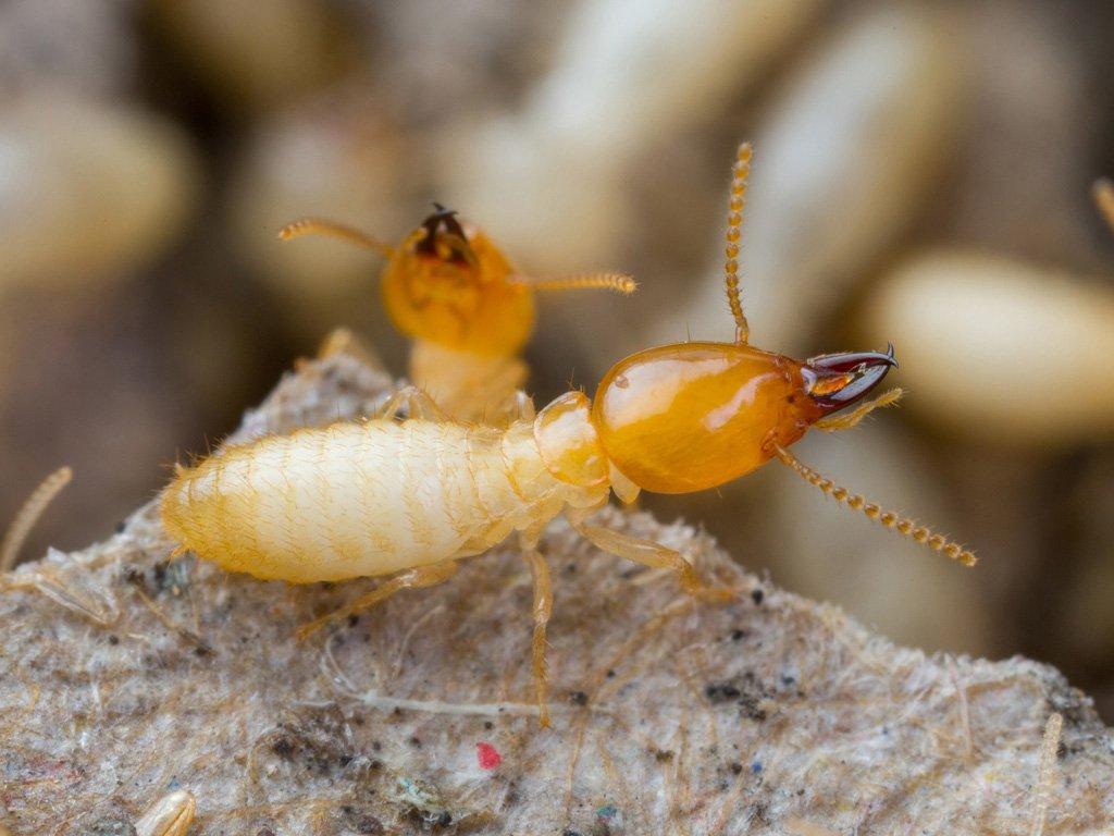 Termite Control Company Phoenix Az Blue Sky Pest