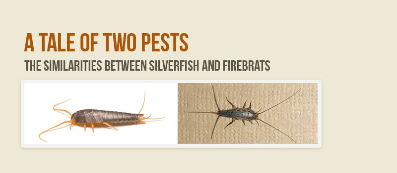 similarities between silverfish firebrats