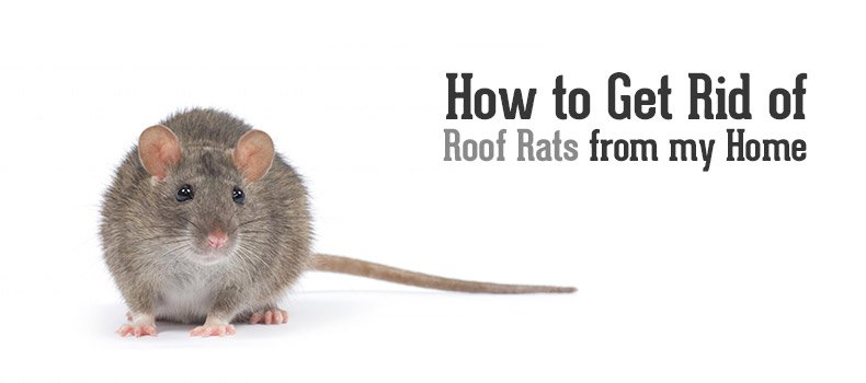 How Do I Get Rid Of Roof Rats From My Home? U2013 Phoenix, Arizona