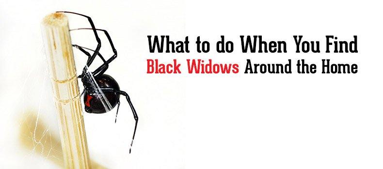 How do I get control of the black widows around my home?