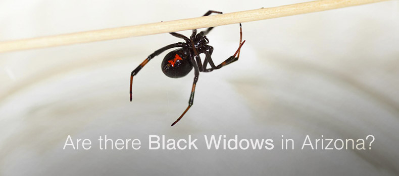 Are there black widow spiders in Arizona?