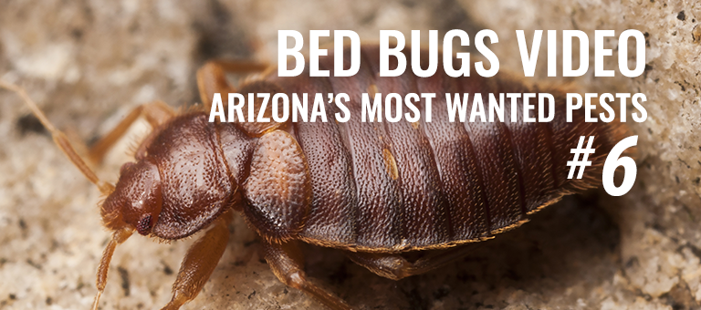 Bedbugs AZ most wanted pests