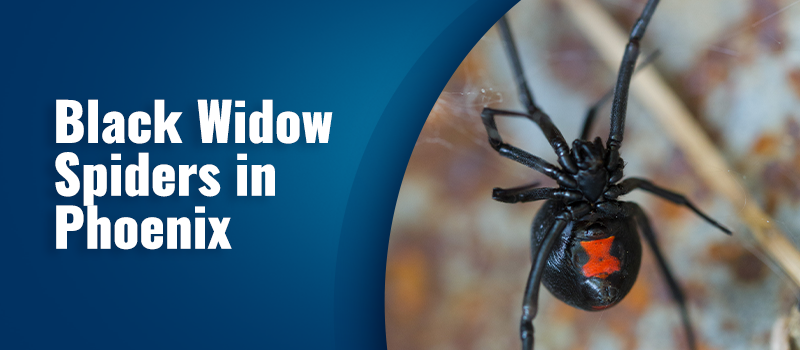 black widow pest contrail